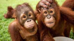 Ultimate bromance! Rescue orangutans cuddle up and play together in adorable footage [Video]