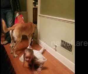 Dog walking the human? Family dog drags three year old trying to pull leash [Video]