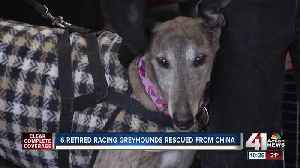 Greyhounds rescued from China arrive in Kansas City [Video]