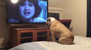 Bulldog watches a horror movie, does something INCREDIBLE during scary scene [Video]