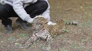 Leopard cub learns to walk again after being paralysed in road accident [Video]