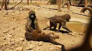 Rescued baby baboons playing [Video]