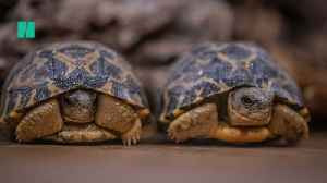 Baby Madagascan Tortoise Babies The Size Of Golf Balls Hatch [Video]