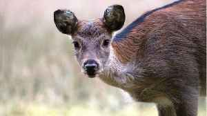 'Zombie Deer Disease' Has Now Officially Spread To 24 U.S. States [Video]