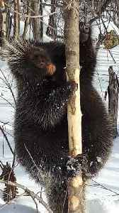 Fearless wild porcupine doesn't throw his quills [Video]