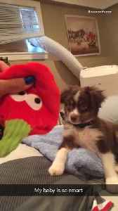 Little dog plays with strawberry toy and shakes hand [Video]