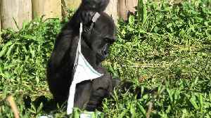 Gorilla baby isn't happy with choice of clothing [Video]
