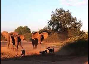 Safari tourist captures incredible stand-off between elephant herd and wild dogs [Video]
