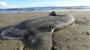 Rare Giant Sunfish Washes Up On California Beach [Video]