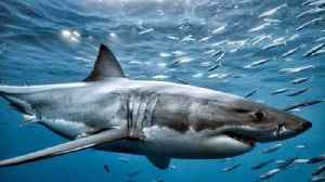 Cape Cod May Have a Great White Shark Problem [Video]