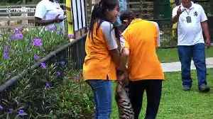Playful tiger cub clings to zoo keeper's jeans and won't let go [Video]