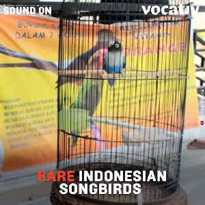 Songbird Competitions in Indonesia are Putting Threatened Birds at Risk [Video]