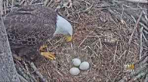 Awaiting The Arrival Of Baby Bald Eagles In Charles County [Video]