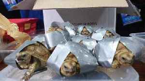 More than 1,500 turtles and tortoises found in suitcases at Manila airport [Video]