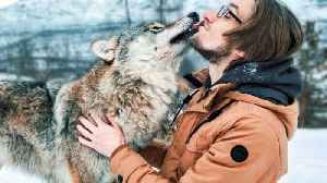 Be part of the pack! Travelling couple tick playing with wild wolves off bucket list for wedding anniversary [Video]