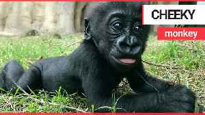 Baby gorilla being a cheeky monkey by sticking her tongue out at the camera [Video]