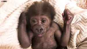 Cheeky baby gorilla sticks tongue out to camera [Video]