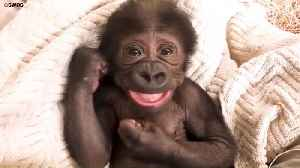A Baby Gorilla Was Spotted Being a Really Cheeky Monkey At a Zoo - By Sticking Her Tongue Out At The Camera [Video]