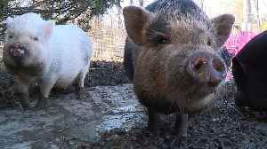 Woman Fights to Keep Miniature Pot-Bellied Pigs After City Says She Can`t Have Them [Video]