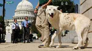 US May Lift Endangered Species Protections For Gray Wolves [Video]