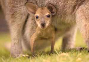 Adorable Joey Pokes Head Out of Mum's Pouch [Video]