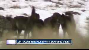 State control of wolves? [Video]
