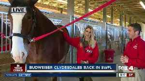 Popular Clydesdales to make SW Florida appearances this week [Video]
