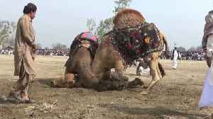 Spectators cheer on camel fighting contest, despite ban [Video]