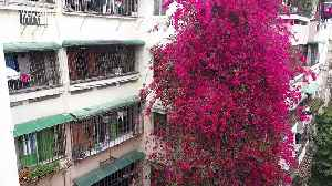 In China, a cascading bougainvillea flourishes thanks to the care of a son honoring the memory of his late father [Video]