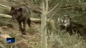 Wisconsin officials react to wolf announcement [Video]