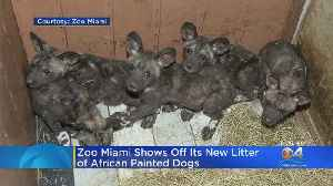 Zoo Miami Welcomes Litter Of African Painted Dog Pups [Video]
