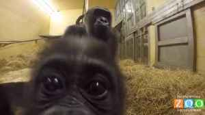 Surrogate bonds with baby gorilla rejected by mother [Video]