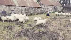 Three-Year-Old Girl Herds Sheep [Video]