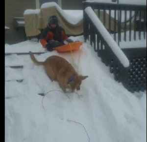 Golden Retriever Tows Kid on Sled Downhill [Video]