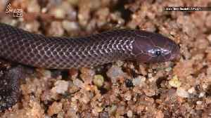 This Creepy New Snake Can Attack Sideways [Video]