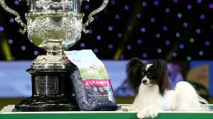 'Dylan the villain' wins UK's Crufts dog show [Video]