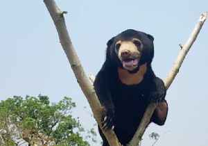 Orphaned Bear Shows Off Climbing Skills, Three Months After Rescue [Video]