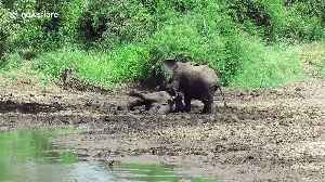 Playful elephants enjoy mucky sibling wrestle in river mud [Video]