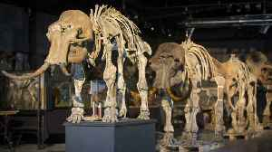 Scientists Work To Bring Woolly Mammoth Back To Life [Video]