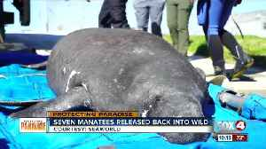 Seven manatee released back into the wild [Video]