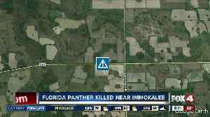 Florida panther killed by car near Immoklaee [Video]