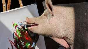 Painting sow 'Pigcasso' hogs the limelight at South Africa farm [Video]