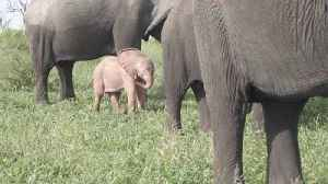 Elephants on parade! Disney-like scenes as rare pink elephant spotted in the wild [Video]