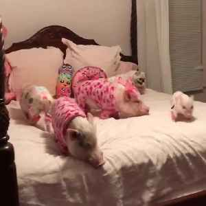 Just Some Pigs and a Pug Getting Ready for Bed [Video]
