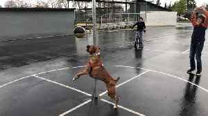 Boxer Dog Plays Tetherball [Video]