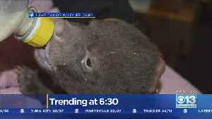 Lake Tahoe Wildlife Care Takes In Pair Of Young Bear Cubs [Video]