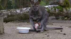 Czech zoo hopes albino wallaby will become star attraction [Video]