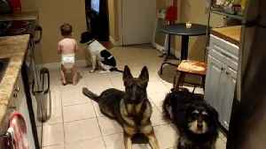 Cute toddler helps feed three obedient dogs [Video]