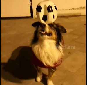 Is this dog the new Ronaldo? Pooch shows off ace balance skills with a football [Video]