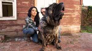 Ultimate Guard Dog Weighs 200lbs | TRULY [Video]